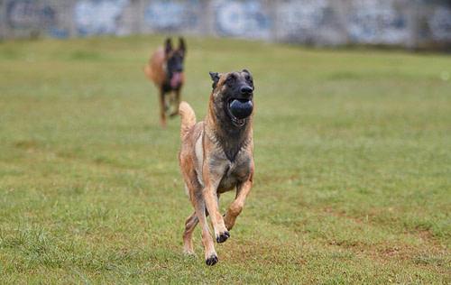 Schäferhund rennt zum Fressen