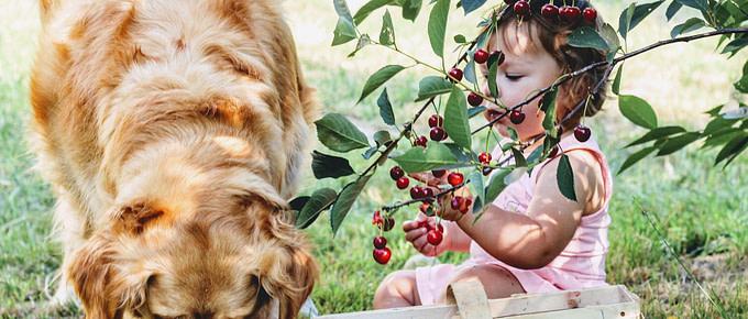 Mädchen füttert Hund mit Kirschen