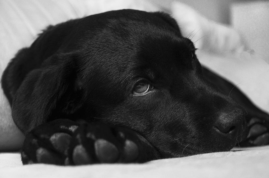 Schwarzer Labrador hat keine gute Hundegesundheit. Man sollte ihn mit gesunden Obst- und Gemüse ernähren.