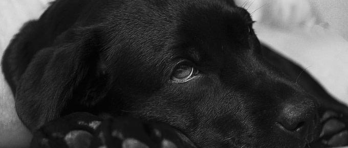 Diesem schwarzen Labrador geht es nicht gut. Erhat keine gute Hundegesundheit.