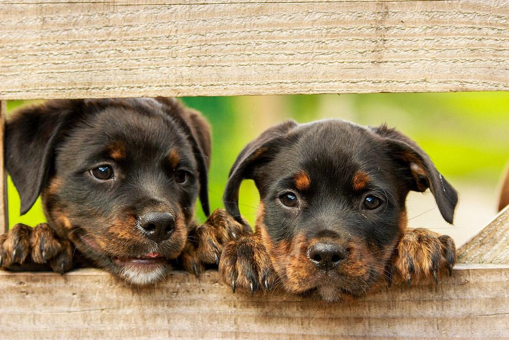 Zwei Rottweiler Welpen freuen sich auf gesundes Hundefutter