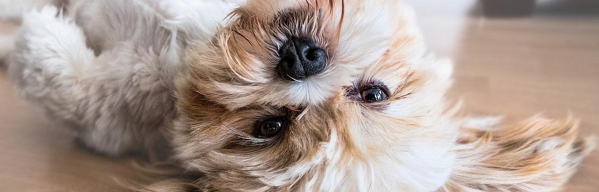 Malteser auf dem Boden rollend freut sich auf Hundefutter gegen Haarausfall
