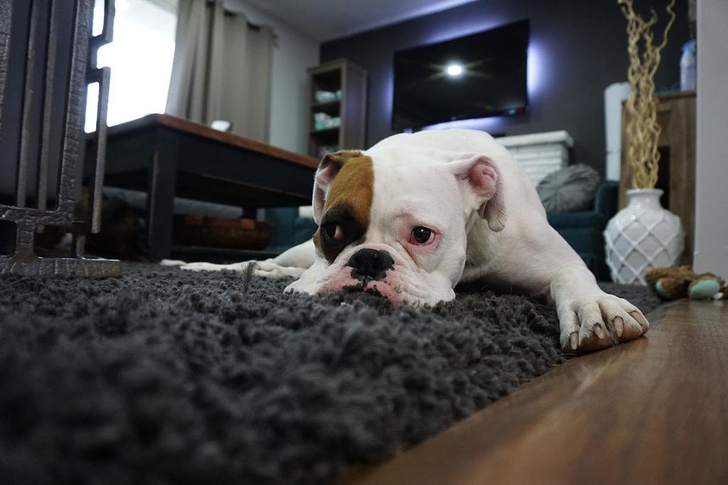 Hund liegt schlapp am Boden und braucht Hundefutter gegen Haarausfall.