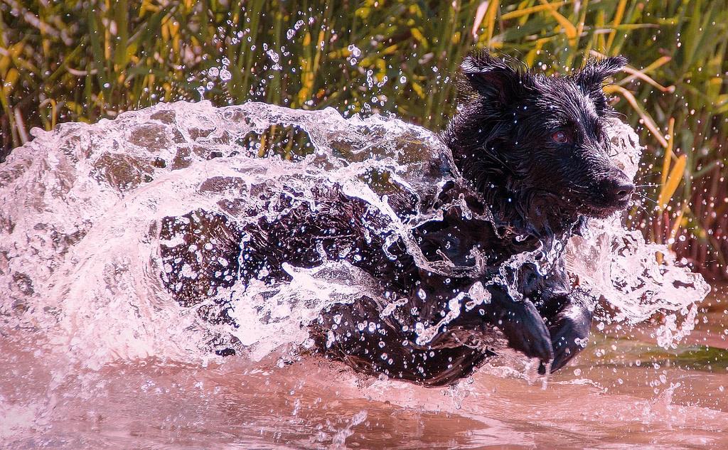 Hund springt durch Matsch und riecht nach nasser Hund