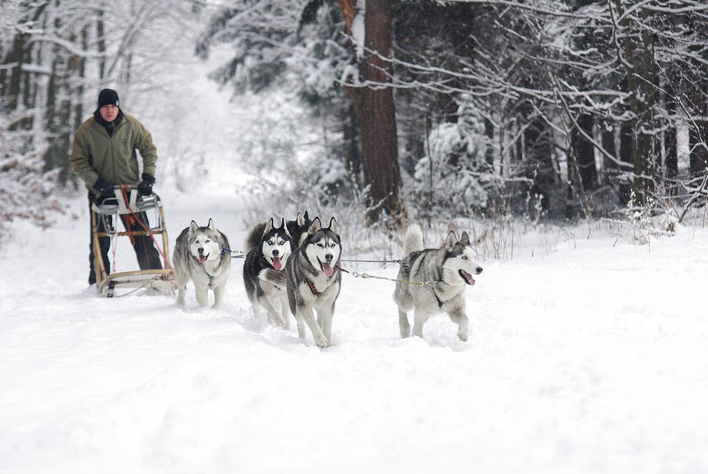 Schlittenhunde haben einen sehr hohen Energiebedarf und benötigen energiereiches Hundefutter.