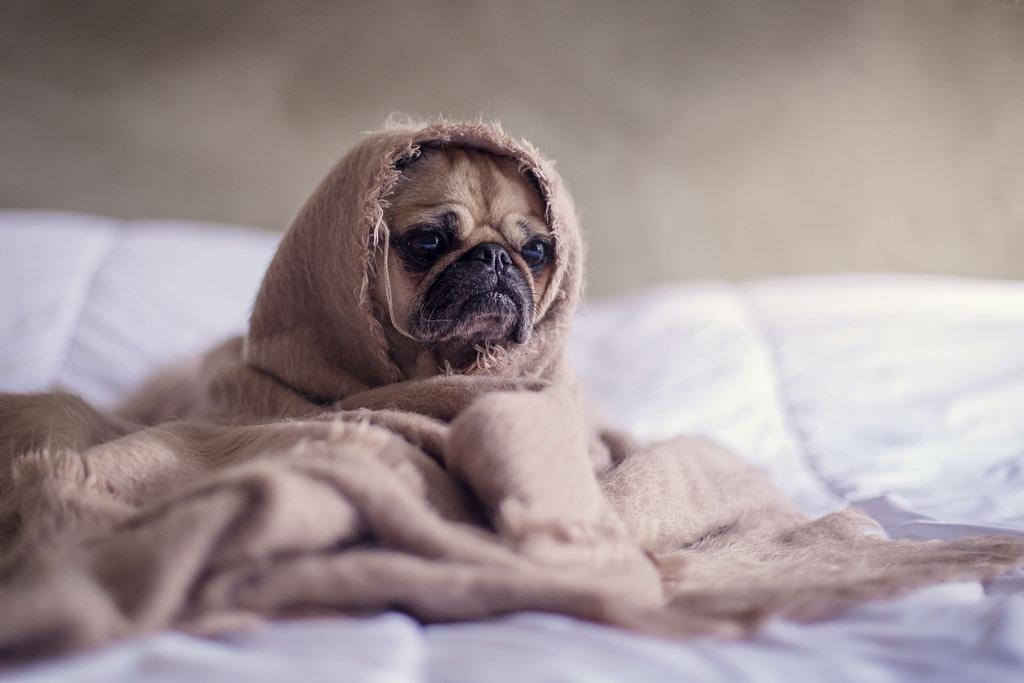 Nasser Hund in Handtuch um Gerüche zu entfernen